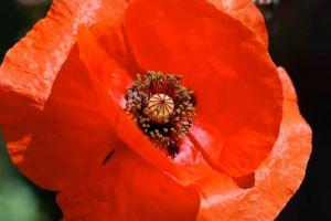 poppy-for-WWI
