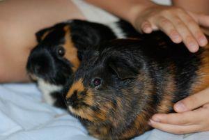 guinea-pigs-2